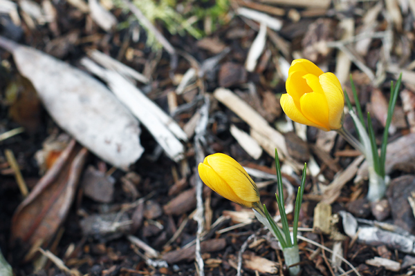 Early crocus blooms in Edmonds.